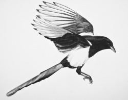 The Scavenger logo, a magpie.